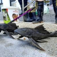 Invasive Amazon sailfin catfish found thriving in Taipei's Bihu Park