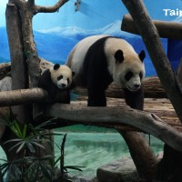 Panda cub Yuan Bao makes first public appearance at Taipei Zoo