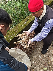 Young leopard cat found dead in northwest Taiwan
