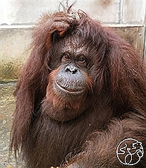 Orangutan dies after fall at newly reopened Taiwan zoo