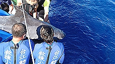At least 24 pygmy killer whales found dead in S. Taiwan since April