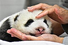 Taipei Zoo's second giant panda cub growing fast