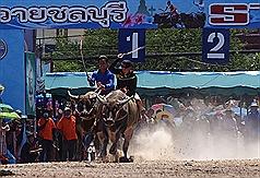 泰國百年傳統奔牛節熱鬧登場 水牛競速氣勢磅礡