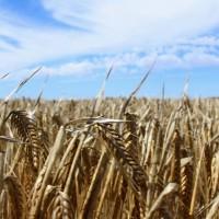 Australia to take dispute with China over barley tariffs to WTO