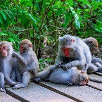 Woman attacked by macaques at zoo in southern Taiwan