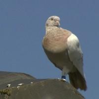飄洋過海來「被宰」?美國賽鴿恐遭澳洲政府處決