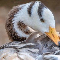 Bar-headed geese make debut appearance in Taiwan