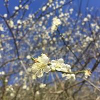 花蓮太魯閣梅花齊綻放 賞花期到1月底