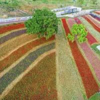 Tribute to Japan's Kamifurano flower fields blooming in Taipei