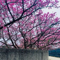 Cherry blossom trees on Taipei's Pingjing Street beginning to bloom