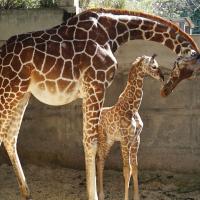 可愛!台北市立動物園長頸鹿寶寶取名「麥芽」 未滿月體重已破100公斤
