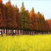 Cypress forests attract hordes of visitors to small southern Taiwan district
