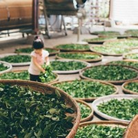 Taiwanese tea certified by Belgium's International Taste Institute