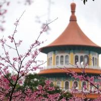 淡水天元宮櫻花盛開湧上萬人潮 廟方急喊:不要再來了