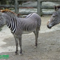 Taipei Zoo to bring in endangered zebra from Japan