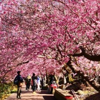 Bus services to Wuling Farm in central Taiwan for cherry blossom season