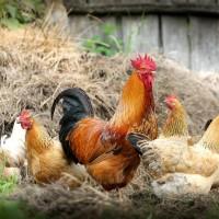 全球首例人類感染H5N8禽流感!俄羅斯7人染疫