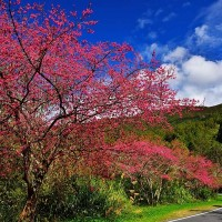 Traffic to be restricted on Taiwan's Alishan during cherry blossom season