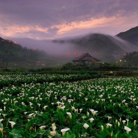 Calla lily season begins at Taipei's Yangmingshan