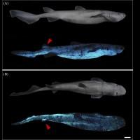 【閃閃動人】自體發光鯊魚 紐西蘭外海現蹤