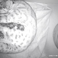 Endangered leopard cat gives birth to 3 kittens at Taipei Zoo