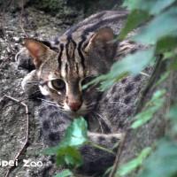 睽違超過20年 台北市立動物園石虎「平平」產下3隻寶寶