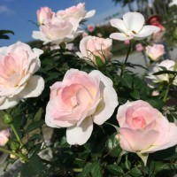2021 Taipei Rose Festival to showcase 700 varieties of roses