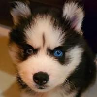New Taipei pet shop refuses refund after NT$57,000 husky dies in 10 days