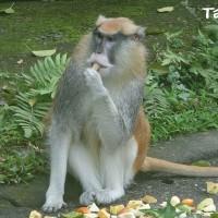 Patas monkey escapes from Taipei Zoo