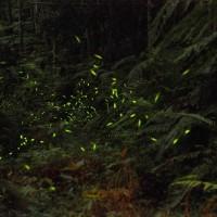 Firefly season at Taiwan's Aowanda to kick off in late April