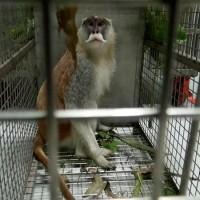 【更新】諜對諜~~北台灣落跑紅猴「男道」回家了 市立動物園蔬果誘捕策略奏效