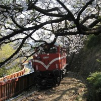 Public transport available to reach Taiwan's Alishan during flower season