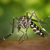 Indonesian man 1st positive case of chikungunya in Taiwan in 2021
