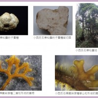 【林地淘金!】台灣發現頂尖食材白松露原生種 林業試驗所預估:8年栽培完成•10年內可量產