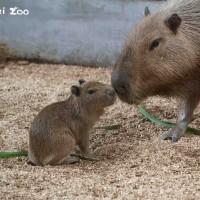 台北市立動物園水豚寶寶「車車」今亮相 5月揭曉性別