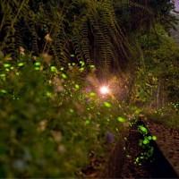 Firefly season begins at Sun Moon Lake in central Taiwan