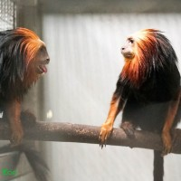 Taipei Zoo introduces rare monkeys from Singapore