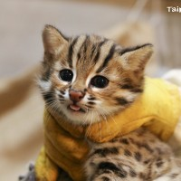 Photo of the Day: New batch of leopard cats at Taipei Zoo revealed