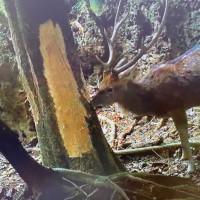 林試所:台灣梅花鹿族群衝擊珊瑚礁森林生態 將介入平衡