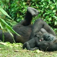 迎接夏天!台北市動物園:保育員和金剛猩猩 植栽中鬥智