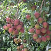 Taiwan lychees popular overseas despite COVID pandemic