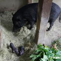 為台灣蘭嶼豬保種努力!台北市動物園:伊時誕下兩隻豬寶寶