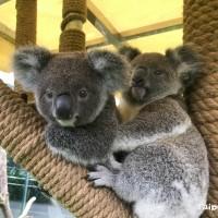 臺灣3級警戒期間  臺北動物園:無尾熊戶外露營親近自然