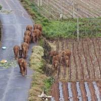 Wandering elephants wreak havoc in China's Yunnan