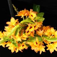 孕育有成!臺灣春石斛3個新品登錄英國皇家園藝學會 國際市場年需求量增
