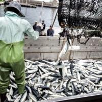 確保臺灣鯖鰺資源永續!農委會:落實禁漁期與區 推動海洋之心生態標章