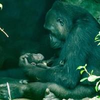 台北動物園:金剛猩猩Iriki母愛滿溢  二寶個性文靜得人疼