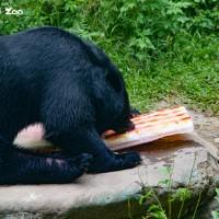 感謝義舉!臺北動物園和動物分享喜悅 黑熊搶先品嚐國旗蔬果冰