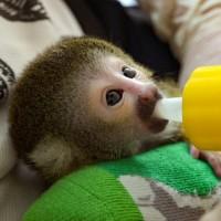 再添新成員!臺北動物園:黑冠松鼠猴寶寶遭媽媽棄養 緊急啟動人工哺育