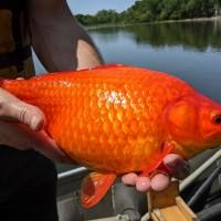 「巨人版金魚」釀生態浩劫 美國官方籲別再亂棄養